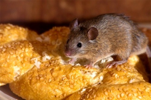 Mice are an unsightly nuisance in the home, they cause damage to property and foodstuffs and  can spread disease which can be transmitted to humans. Eliminate pests with Quickill Pest Control, Kilkenny, Ireland